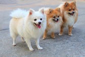 Face of pomeranian dog — Stock Photo
