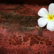 White frangipani flower on red grungy background — Stock Photo