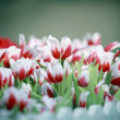 Goup of white and red tulip flowers in the garden — Stock Photo