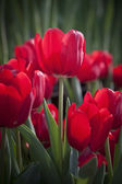 Red tulip flower in the garden — Stock Photo