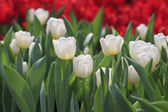 White tulip flower in garden — Stock Photo