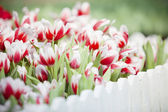 Red and white tulip flower in the garden — Stock Photo