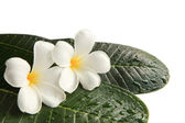 White frangipani flowers on green leaves with fresh water dew — Stock Photo
