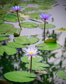 Purple lily lotus blooming in the park — Stock Photo