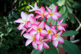 Frangipani flowers blooming — Stock Photo