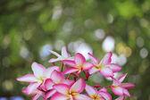 Group of Frangipani flowers — Stock Photo