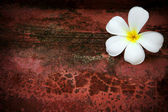 White frangipani flower on background with shallow depth of field — Stock Photo