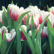 Stock Photo: Tulip flower in garden