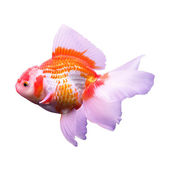 Gold fish in middle water and blue scene background — Stock Photo
