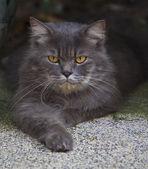 Close up face of persia cat — Stock Photo