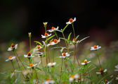 Grass flower blooming shallow depth of field use as nature background — Stock Photo