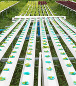 Hydroponics green vegetable — Stock Photo