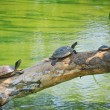 Family of turtle sunbathe on the tree log — Stock Photo