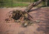 Arbre abattu après la tempête de vent dans la ville — Photo