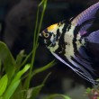 ������, ������: Angel fish in green aquarium