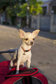 Cachorro chihuahua ou isidro costa — Foto Stock