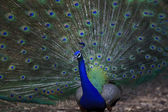 Close up of indian peacock with beautiful tail feathers — Stock Photo