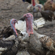 Turkey birds — Stock Photo