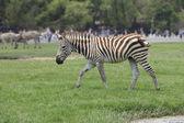 Zebra on green grass field — Stock Photo