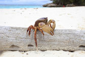 Poo kai crab on white sand beach of tachai island similan national park southern of thailand for natural scene — Stock Photo