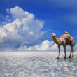 Stock Photo: Camel on sand desert with blue sky background for natural theme
