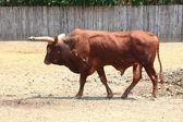 Watusi cow — Stock Photo