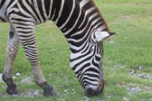 Zebra head in green grass field — Stock fotografie