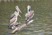 Spot billed pelican — Stock Photo