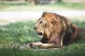 лев лежал и расслабляющий на зеленом поле — Стоковое фото