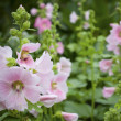 Pink flowers in green garden — Stock Photo