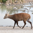Walking deer  — Stock Photo