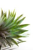Ananas verlaat op witte achtergrond — Stockfoto