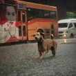Stock Photo: BANGKOK THAILAND - SEP14 : steet dog crossing sudden flood afte