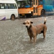 Poor street dog standing in rain flood water — Stock Photo
