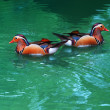 Two female of mandarin duck floating on clear water — Stock Photo #31841483
