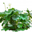 Green leaves of lotus tree in pond isolated on white background — Stock Photo