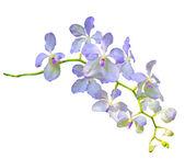 Purple vanda coerulea orchid flower isolated on white backgroun — Stock Photo