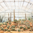 Decoration of cactus plant in green house — Stock Photo