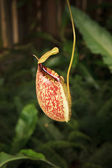 Pitcher plants in green house — Stock Photo