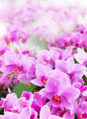 Beautiful of tropical orchid flower blooming show shallow depth — Stock Photo