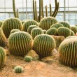 Cactus plant in green house use for multipurpose — Stock Photo