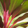 Beautiful  red and green leaves of tree plant — Foto de Stock
