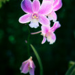 Close up of tropical purple orchid flowers with shallow depth of field and dark background in nature wild — Stockfoto