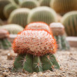 Close up red cactus on sand soil in green house — Stock Photo #33954085