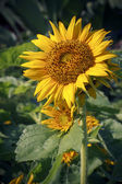 Close up of sunflower plant in park — Foto Stock
