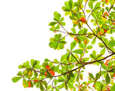 Green and red sea almond leaves with tree branch isolated on whi — Stock Photo