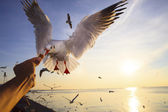 Hand feeding food to sea gull while flying hovering with sun set background — Stock Photo