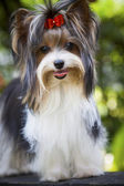 Close up face of lovely biver yorkshire terrier dog — Stock Photo
