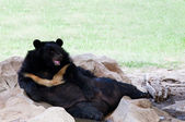 Malayan sun bear lying on ground in zoo use for zoology animals and wild life in nature forest — Stock Photo