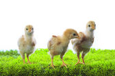 Three of little yellow kid chick standing on artificial green gr — Stock Photo